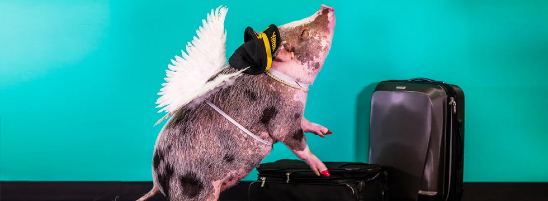Pigs Fly at SFO: Airport welcomes LiLou to the Wag Brigade
