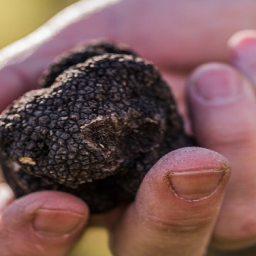North Canterbury truffles no longer underground