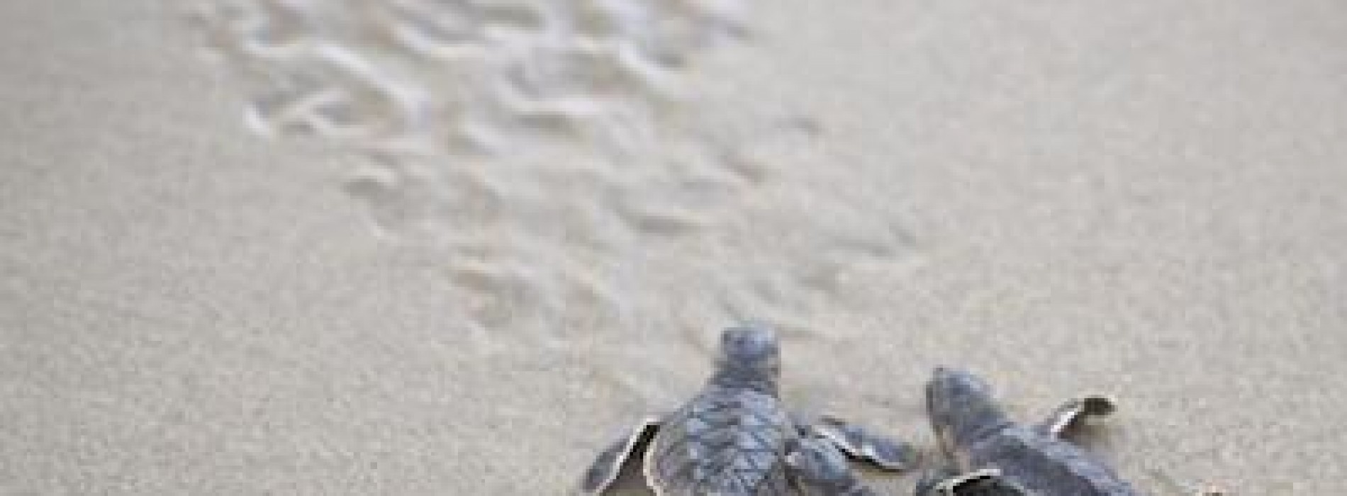 Turtle season in Oman has begun