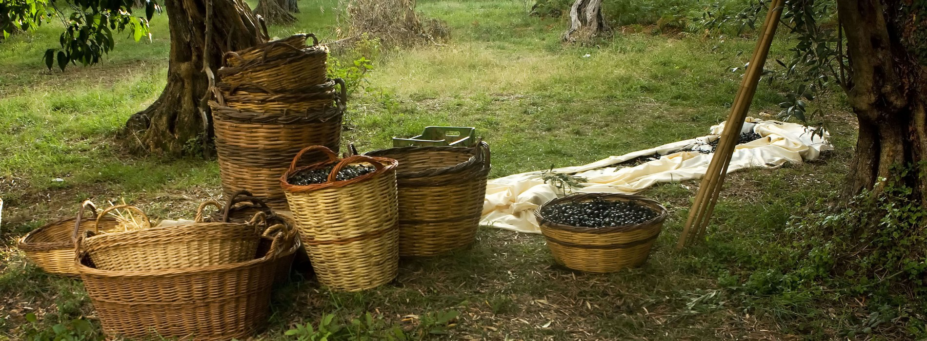 Experience the Greece countryside with Olive harvesting season