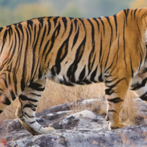 Taj Safaris celebrates The Indian Jungles with Wildlife Escape Offer